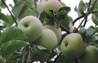 Guba's rich apple orchards intend to export 80,000 tons of products