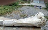 "Bone of prehistoric elephant discovered in Fizuli <span class=""color_red"">[PHOTO]</span>"