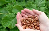Italy's Ferrero may assist Azerbaijan in expanding hazelnut production