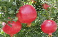 Pomegranate, red-flaming fruit