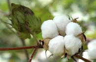 Turkmenistan harvests over 1 mln tons of cotton