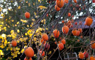 Balakan to host first Persimmon Festival