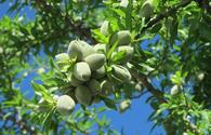 Almond orchards may appear in one of Baku settlements