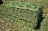 Kazakhstan eyes to export alfalfa hay to China