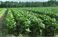 Heavy rains in Azerbaijan cause no damage to tobacco plantations