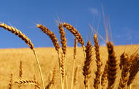 Barley harvesting nears completion