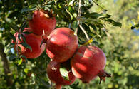 Iran forecasts increase in pomegranate harvest