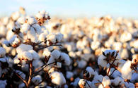 Uzbekistan reduces cotton production to 2.3 million tons