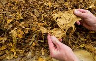 Tobacco cultivated areas to be expanded in Azerbaijan