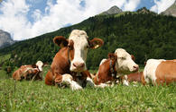 EU, WB to fund livestock development in Uzbekistan
