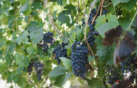 "First viticulture сooperative established <span class=""color_red"">[PHOTO]</span>"