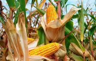 Country starts exporting corn