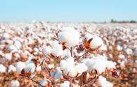 Azerbaijan to prepare proposals for cotton, tobacco growing