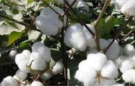 Cotton-growing achieves new record in 2019