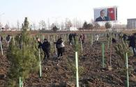 "Tree planting campaign starts in Azerbaijan's Shamakhi city <span class=""color_red"">[PHOTO]</span>"