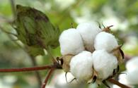 Country sees growth in cotton production