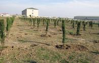 Number of trees planted by Azerbaijani army to exceed 200,000