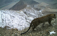 "Rare Caucasian leopards captured on camera in Azerbaijan <span class=""color_red"">[VIDEO]</span>"