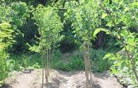 "More trees to be planted in Azerbaijan by volunteers <span class=""color_red"">[PHOTO]</span>"