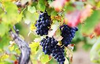 Azerbaijan discloses volume of exported grapes