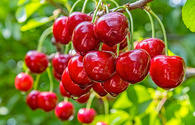 Azerbaijan boosts exports of cherries, chokecherries