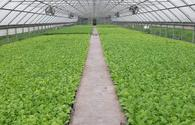 "Transplantation of tobacco seedlings to fields starts in Azerbaijan's Zagatala <span class=""color_red"">[PHOTO]</span>"