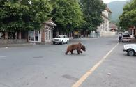 "Brown bear spotted in Sheki <span class=""color_red"">[VIDEO]</span>"