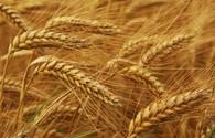 Azerbaijani Agriculture Ministry reveals volume of cereals harvested as of June 15