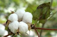Globally competitive cotton varieties created in Azerbaijan