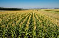 Re-sowing of corn helps double income of Azerbaijani farmers