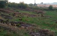 "Armenians destroyed thousand-year-old trees on liberated Azerbaijani lands <span class=""color_red"">[PHOTO]</span>"