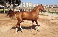 "Film about Karabakh horses to be released next year <span class=""color_red"">[PHOTO]</span>"