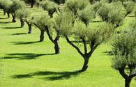 TAP starts replanting olive trees back to their original locations