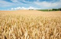 Azerbaijan approves new quality standard for wheat