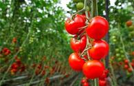 "Safety and quality indicators of tomatoes must comply with int'l standards - Azerbaijani Food Safety Agency <span class=""color_red"">[PHOTO]</span>"