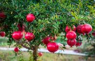 Pomegranate orchards to be planted in Azerbaijan's liberated lands