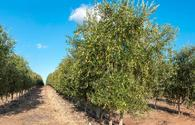 Insects cause serious damage to olive plantations in Azerbaijan