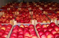 Azerbaijani Food Safety Agency shares projections for apple exports to Russia