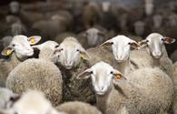 """Azerbaijan imports several purebred sheep species from Europe <span class=""""color_red"""">[PHOTO]</span>"""