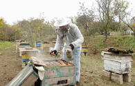 Beekeeping to rapidly develop in liberated Azerbaijani lands - Association