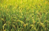 Azerbaijan discloses insurance fee for rice fields
