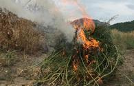 Police destroy 322 bushes of wild hemp in liberated Khojavand