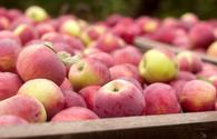 Russia lifts ban on apples imports from more Azerbaijani firms