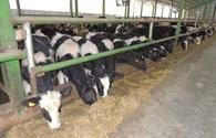 Monitoring for revealing cattle diseases continues in Azerbaijan