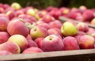 Azerbaijan eyes to more than double apples export to Russia – Food Safety Agency
